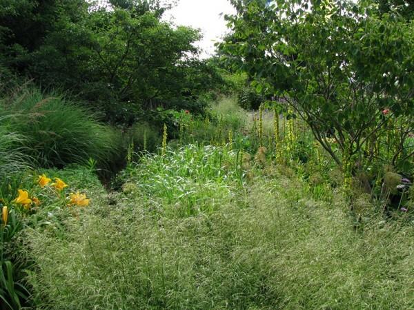 Garten-Schmiele - Deschampsia cespitosa ´Goldschleier`